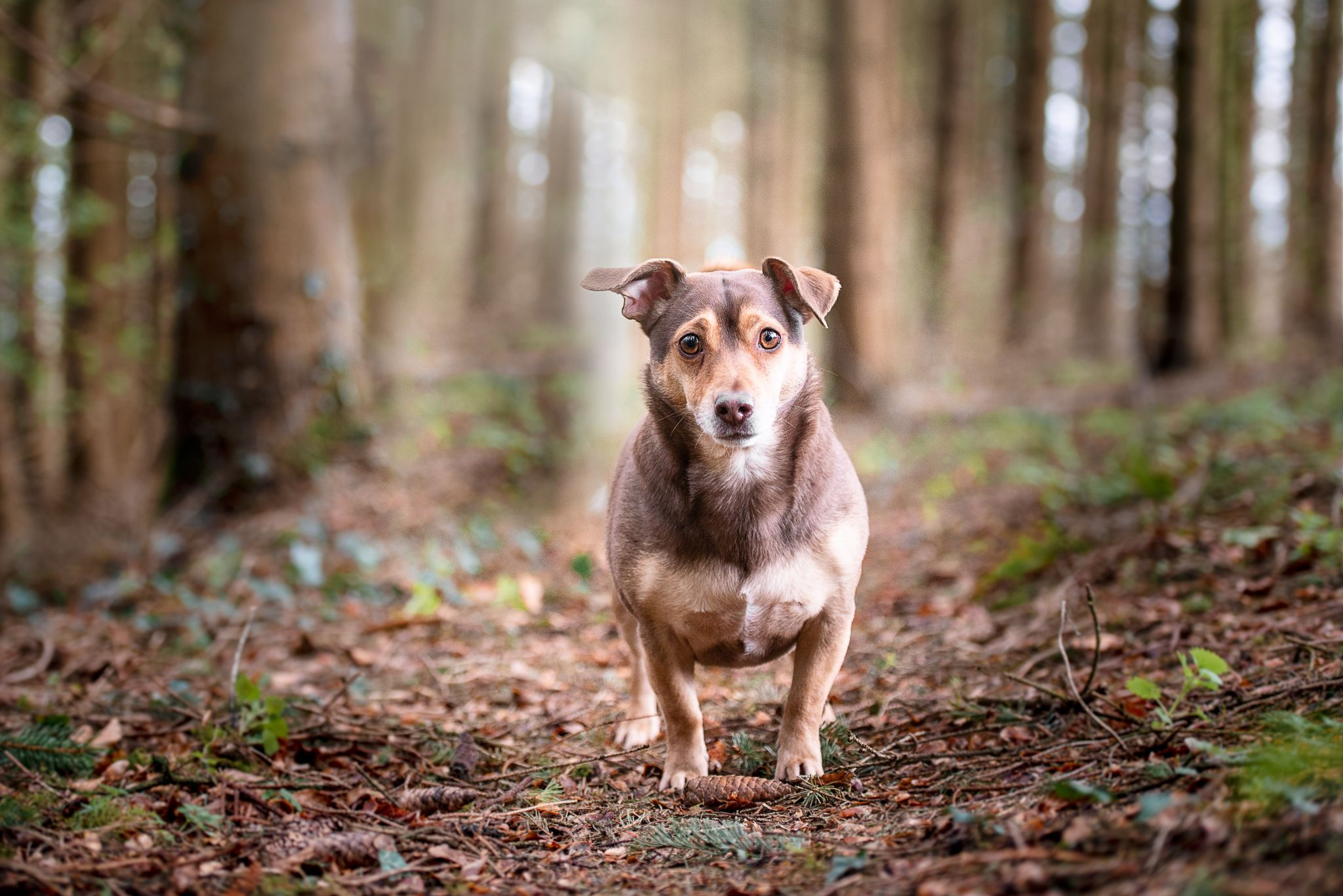 Jack Russell terrier in woodland