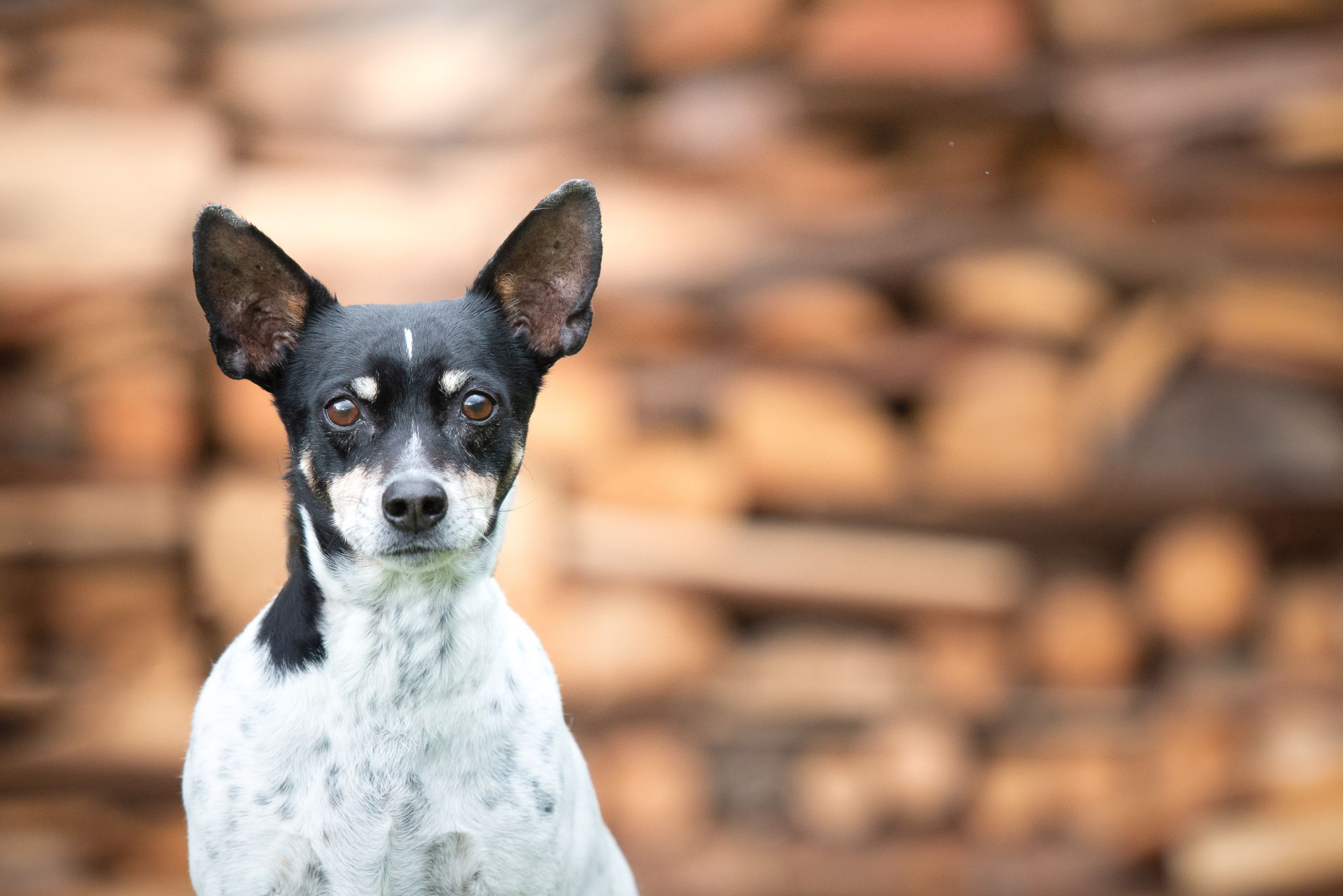 terrier next to woodpile