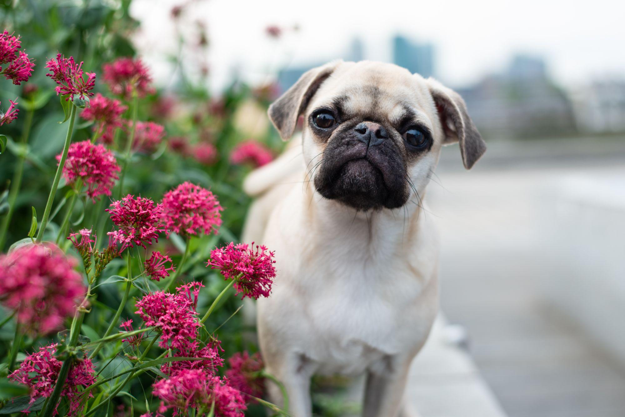 Pug in Flowers, London